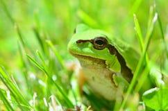 Green European Tree Frog Stock Photos