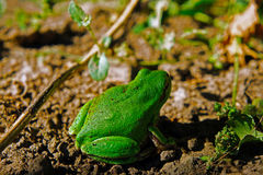 Green european tree frog Stock Photos