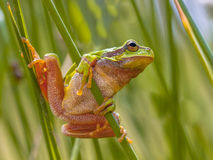 Green European tree frog preparing for a leap Stock Photography