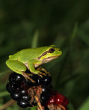 Green European treefrog sitting on Blackberry. Green European treefrog (Hyla Arborea) sitting on Blackberry Royalty Free Stock Photography