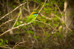 Green exotic bird. Bee eater sitting on the tree branch stock photography