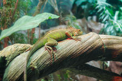Green exotic iguana resting on tree. Stock Images