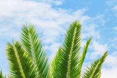 Green exotic tropical palm tree branch on a bright blue and whit Stock Photos
