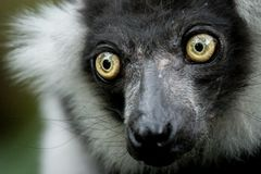 Green Eye Ape stock photography