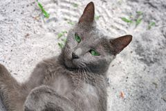 Green eye blue russian cat eyes. Green eye blue russian cat lies on the ground and looking at the camera royalty free stock photo