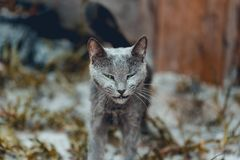 Green eye blue russian cat. Walking straight with funny face royalty free stock images