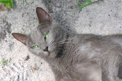Green eye blue russian cat eyes. Green eye blue russian cat lies on the ground and looking at the camera stock photos