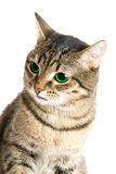 Green eye cat. Beauty Cat with green eyes on white stock photography