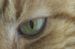 Green eye cat close up. Looks into the lens royalty free stock photos