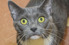 Green eye cat. Gray cat with green eyes looking at you royalty free stock photos