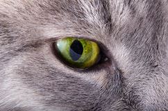 Green eye of a gray cat. Close up royalty free stock image