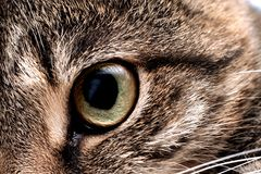 Green eye of a gray cat close up. Cute pet stock images