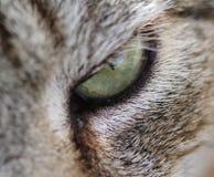 Green eye of a gray cat. Macro closeup of a green gray cat eye Stock Image
