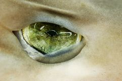 Green Eye Shark. Marine Sea Wild Danger Royalty Free Stock Image