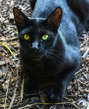 Green eyed black cat. A black cat laying on the ground, staring with his green eyes Royalty Free Stock Image