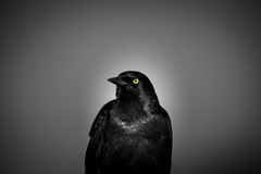 Green eyed Blackbird. Black and white image of a blackbird with green and red colored eyes stock images