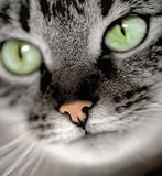 Green-eyed cat. Closeup portrait of green-eyed cat Stock Images