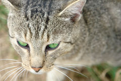 Green Eyed Cat Royalty Free Stock Images