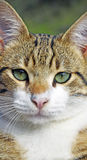 Green Eyed Cat Royalty Free Stock Photos