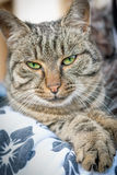 Green eyed cat. Beautiful green eyed cat posing Stock Image
