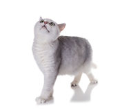 Green-eyed cat of breed  British Shorthair.Color Black Silver Sh Stock Photos
