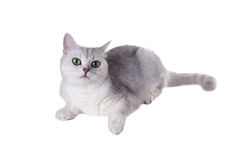 Green-eyed cat of breed  British Shorthair.Color Black Silver Sh Royalty Free Stock Photo