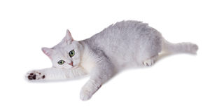 Green-eyed cat of breed  British Shorthair.Color Black Silver Sh Royalty Free Stock Photos