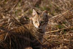Green - eyed cat in the bushes, Domestic cat hunting royalty free stock photography