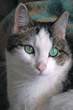 Green eyed cat close up Royalty Free Stock Images