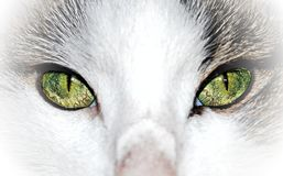 Green eyed cat close up Royalty Free Stock Photos