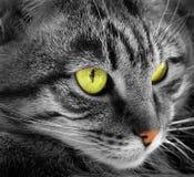 Green-eyed cat Royalty Free Stock Photo