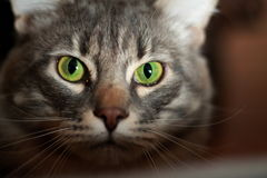 Green-eyed cat. He does not really like people Royalty Free Stock Photo