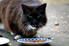 Green eyed cat eating Royalty Free Stock Photography