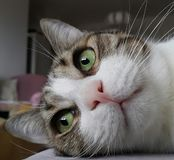 Green eyed cat. Green eyes lying cateyes Stock Photography