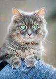 Green eyed cat Stock Image