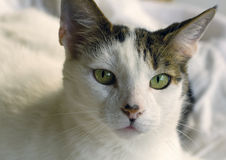 Green-eyed cat gazes Royalty Free Stock Image
