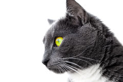 Green-eyed cat Stock Image
