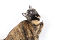 Green eyed cat looking up on a white background. Brown feline with green eyes evading the camera and looking up. Photo taken from the side on a white background Stock Photography