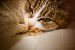 Green-eyed cat is lying  next to wedding rings Royalty Free Stock Photography