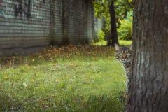 Green-eyed cat peeking behind the tree. Green-eyed cat is hiding and peeking behind the tree Royalty Free Stock Photography