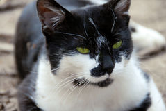 Green-eyed cat Stock Photography