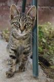 Green eyed Cat Royalty Free Stock Photo