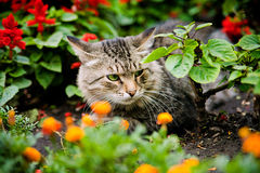 Green-eyed cat sitting among flowers. Shot of green-eyed serious cat sitting among flowers Stock Photography