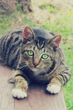 Green eyed cat staring into the future Royalty Free Stock Images