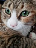 Green eyed Cat. Staring royalty free stock photography