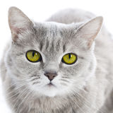 Green eyed cat Stock Image