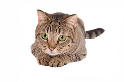 Green-eyed cat on White Royalty Free Stock Photos