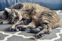 Green eyed cute cat. Relaxing on grey carpet Royalty Free Stock Photos