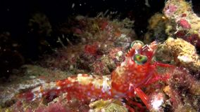 Green-eyed dancing shrimp in Indonesia stock video footage