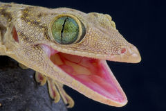 Green-eyed gecko / Gekko smithii. The green-eyed gecko is a large nocturnal lizard species from Southeast Asia Royalty Free Stock Photography